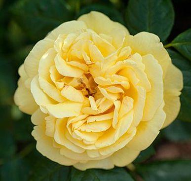 Роза Голдштерн (Goldstern) желтые розы, плетистые розы, повторноцветущие