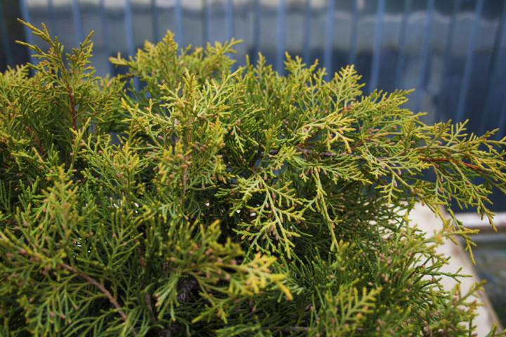 Можжевельник китайский 'Куривао Голд' желто-зеленая хвоя, хвойный кустарник, нетребовательны