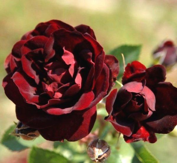 Роза Маликорн (Malicorne)