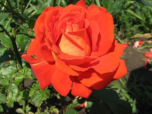 Роза Моника (Monica) устойчивая к болезням, оранжевые розы, для срезки, чайно-гибридные розы