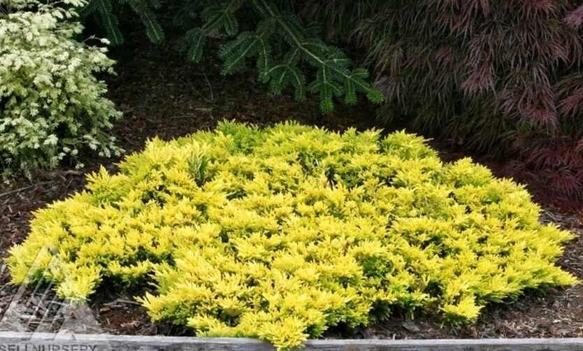 Можжевельник горизонтальный 'Голден Карпет' золотисто-желтая хвоя, стелящийся, медленнорастущие растения, почвопокровное растение