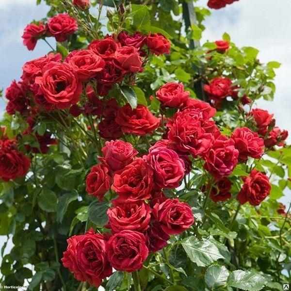 Роза Нахеглут (Nahelglut) плетистые розы, красные розы