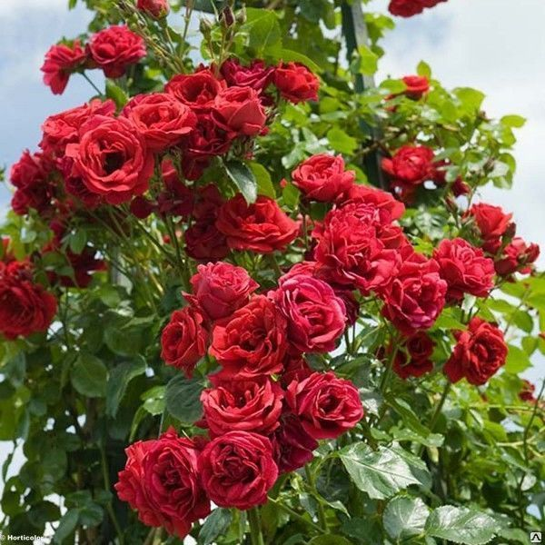Роза Нахеглут (Nahelglut)