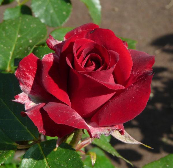 Роза Никколо Паганини (Niccolo Paganini)