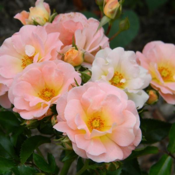 Роза Персиковый Дрифт (Peach Drift)