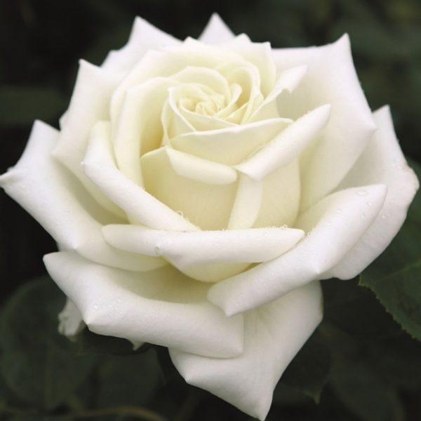Роза Поларстерн (Polarstern)