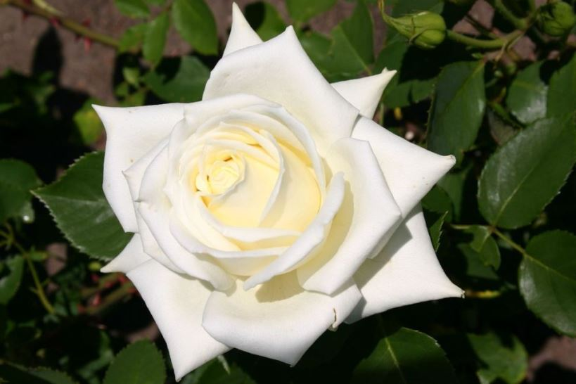 Роза Поларштерн (Polarstern)