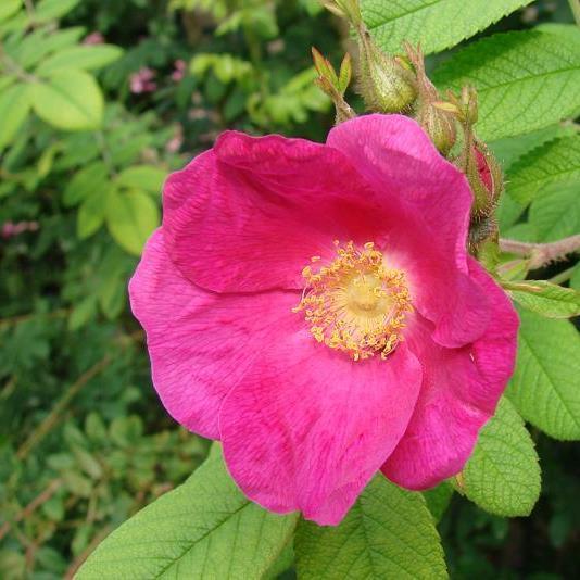 Роза Сиблес (Cibles) парковая роза, розовая роза