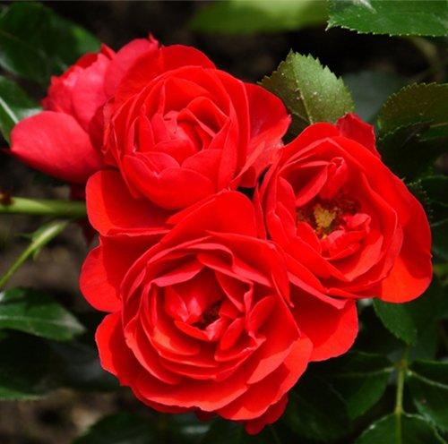 Роза Сорренто (Sorrento) с2 непрерывноцветущая, устойчивая к болезням, красные розы, почвопокровные розы, нетребовательны