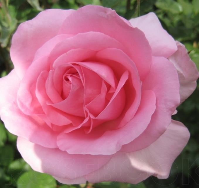 Роза Жарден де Вилландри (Jardins de Villandry) розовая роза, ароматные, чайно-гибридные розы