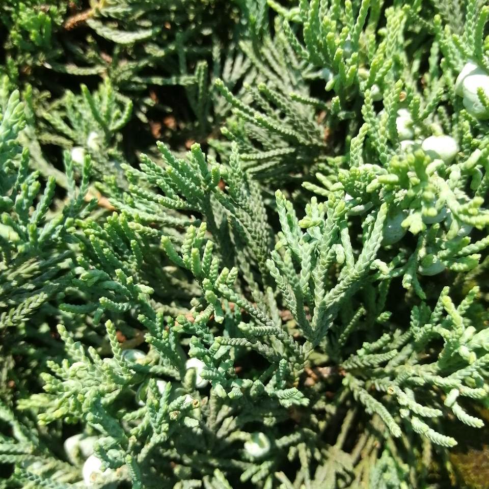 Можжевельник горизонтальный 'Вилтони' можжевельник горизонтальный, хвойный кустарник, хвоя зеленая, почвопокровное растение