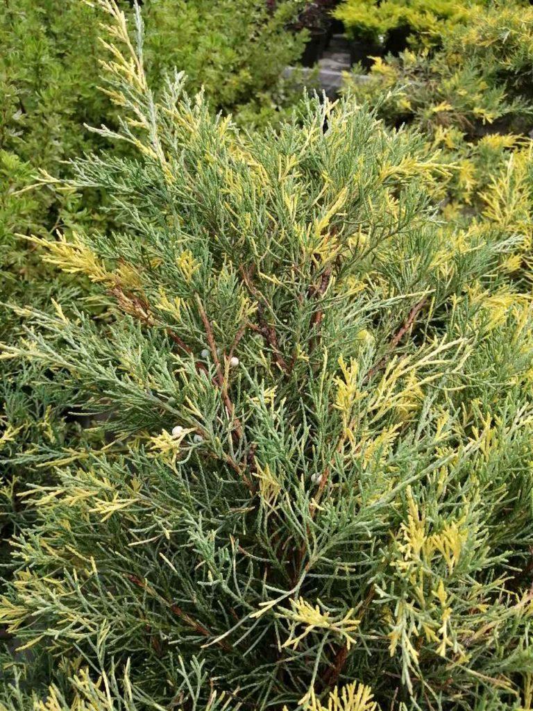 Можжевельник средний 'Голд Кост' желто-зеленая хвоя, хвойный кустарник