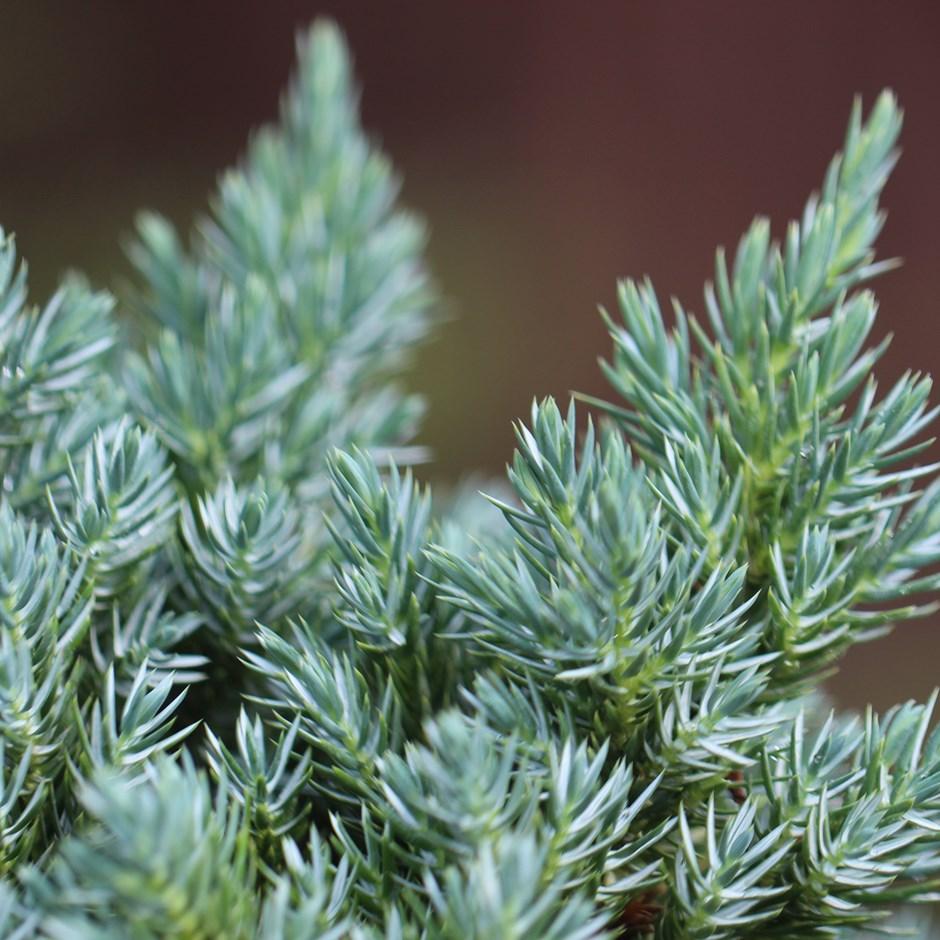 Можжевельник чешуйчатый 'Блю Стар' карликовое, голубая хвоя, медленнорастущие растения, хвоя чешуйчатая