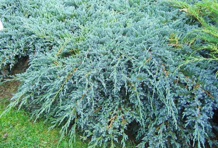 Можжевельник чешуйчатый 'Блю Карпет' голубая хвоя, быстрорастущие растения, почвопокровное растение