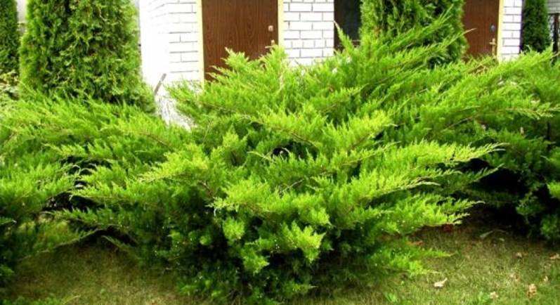 """Можжевельник средний """"Минт Джулеп"""" хвойный кустарник, хвоя чешуйчатая, вечнозеленый, хвоя зеленая"""