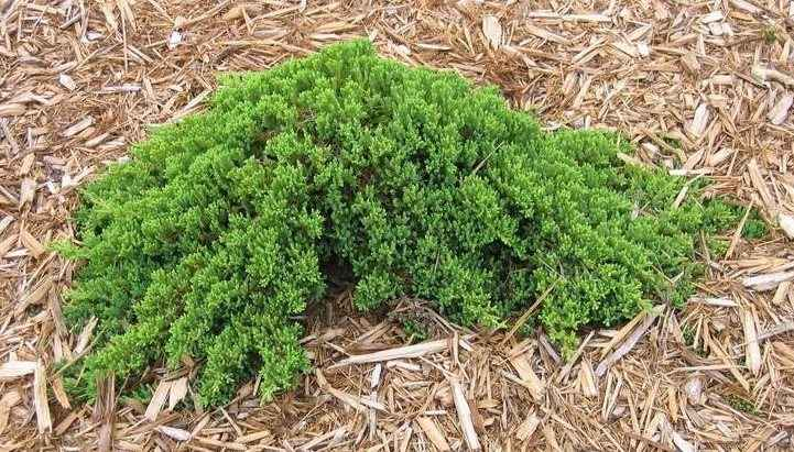 Можжевельник лежачий Нана Можжевельник, стелящийся, медленнорастущие растения