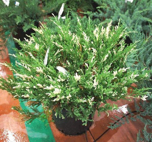 Можжевельник горизонтальный 'Андорра Вариегата' стелящийся, хвойный кустарник, почвопокровное растение