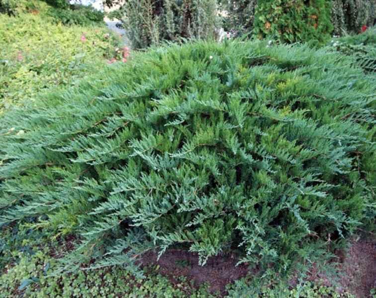 Можжевельник казацкий Тамарисцифолия (Tamariscifolia) можжевельник казацкий, низкорослый, стелящийся