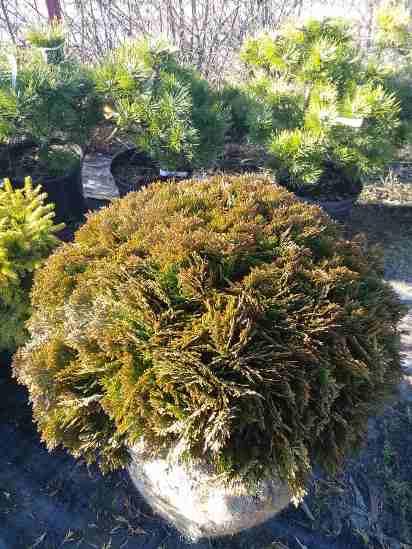 Туя западная 'Даника' (Thuja occidentalis Danica) хвоя чешуйчатая, хвоя зеленая, туя, шаровидная крона