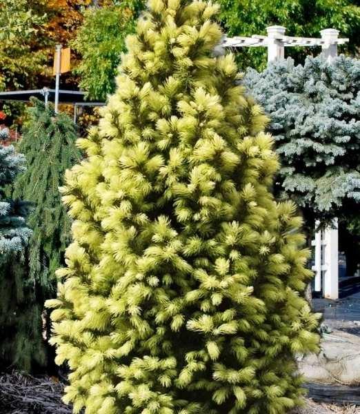 Ель канадская Сан он зе Скай (Sun on the Sky) медленнорастущие растения, карликовая ель