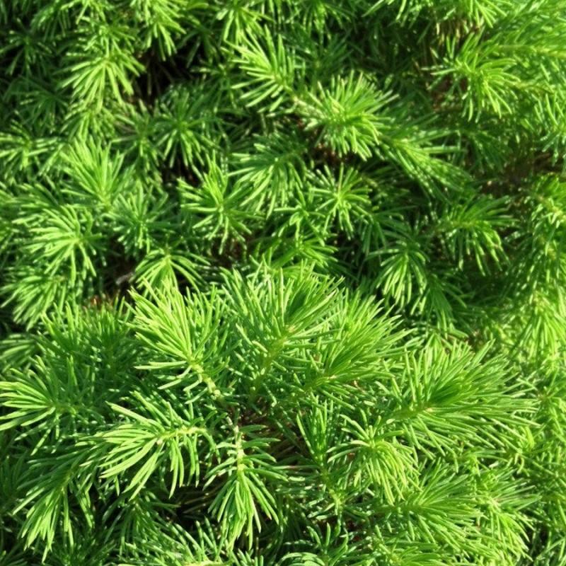 Ель канадская 'Коника' хвоя зеленая, хвойные деревья, ель канадская, карликовая ель