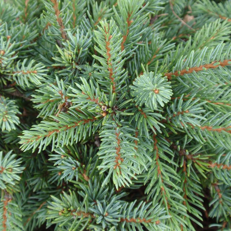 Ель канадская 'Эхиниформис' медленнорастущие растения, хвоя зеленая, карликовая ель