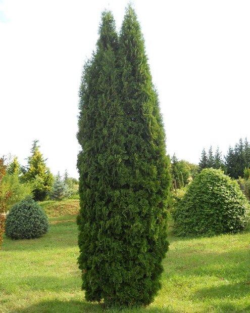 Туя западная 'Колумна' живая изгородь, хвоя зеленая, колоновидные деревья