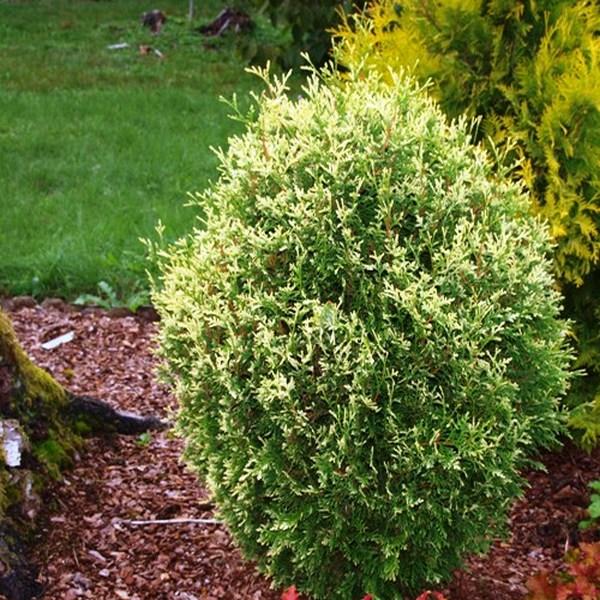 Туя западная 'Голд Перл' медленнорастущие растения, хвоя чешуйчатая, хвоя зеленая