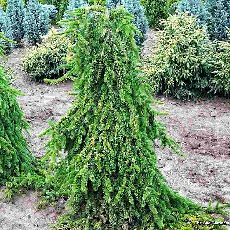 Ель сербская Ель сербская, быстрорастущие растения