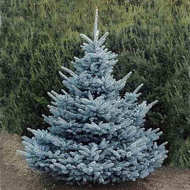 Ель Супер Блю Сидлинг (Super Blue Seedling) голубая хвоя, голубая ель