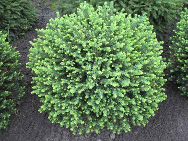 Ель сербская 'Карел' медленнорастущие растения, хвоя зеленая, карликовая ель