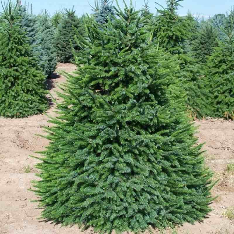 Ель сербская (Picea omorika) Ель сербская, быстрорастущие растения
