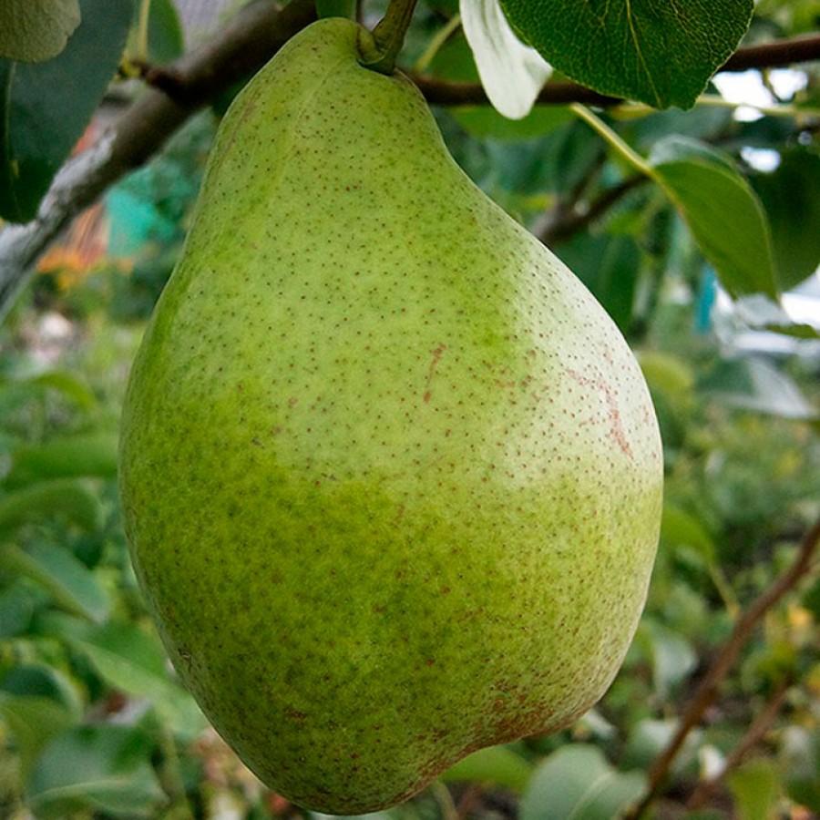 Груша 'Ноябрьская' устойчивая к болезням, крупноплодные, среднерослые плодовые, ежегодное плодоношение, обильное плодоношение