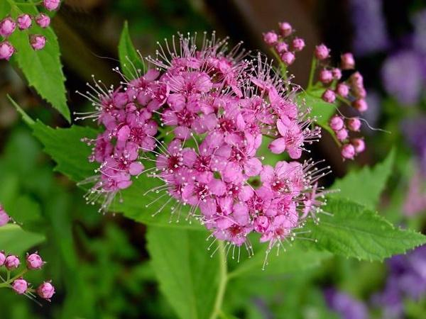 Спирея японская 'Литтл Принцесс' Красивоцветущие растения, декоративный кустарник