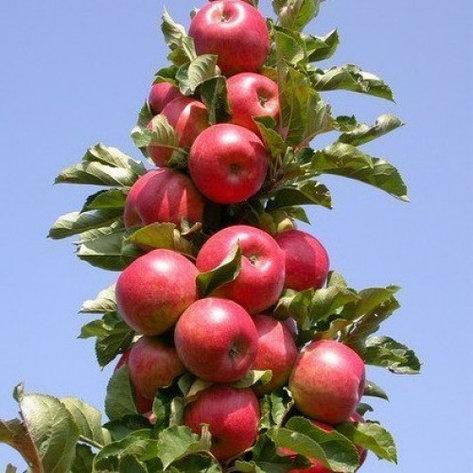 Яблуня Арбат