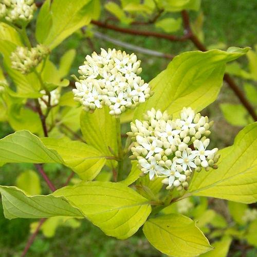 Дёрен белый 'Ауреа' декоративный кустарник, живая изгородь, для городского озеленения, дерен
