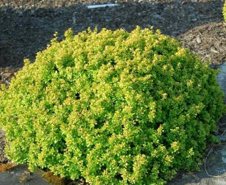 Барбарис Тунберга 'Кобольд' медленнорастущие растения, барбарис, для городского озеленения, зеленая листва