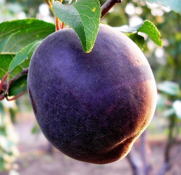 Абрикос 'Черный персиковый'