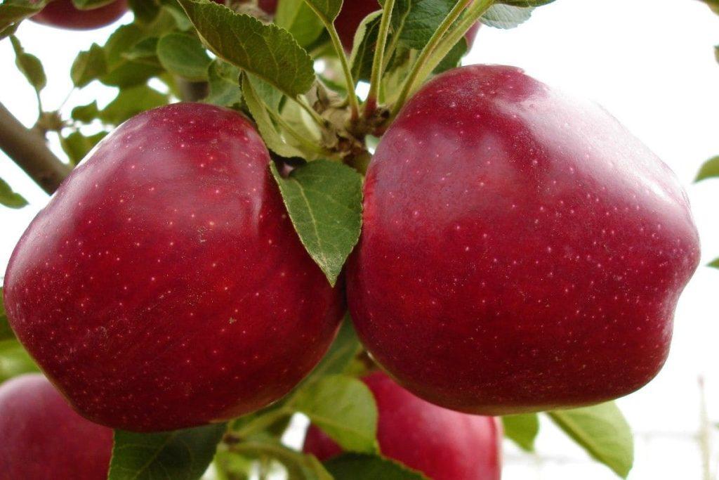 Яблоня 'Джеромини'