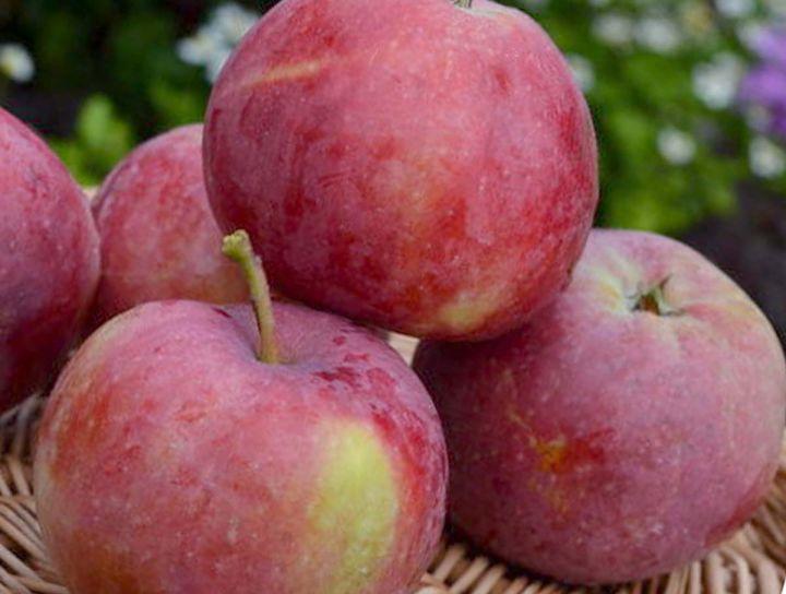 Яблоня 'Фукутами'