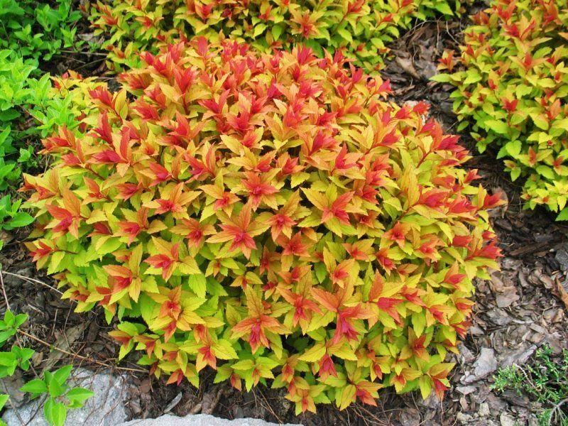 Спирея японская 'Голдфлейм' Красивоцветущие растения, декоративный кустарник