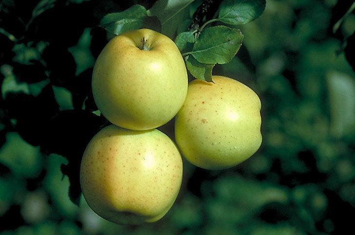 Яблоня Хоней Голд (карликовая) карликовые плодовые деревья