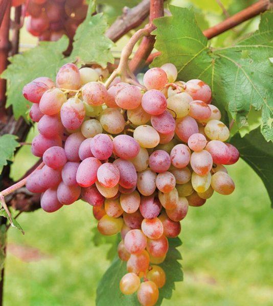 Виноград 'Ливия'