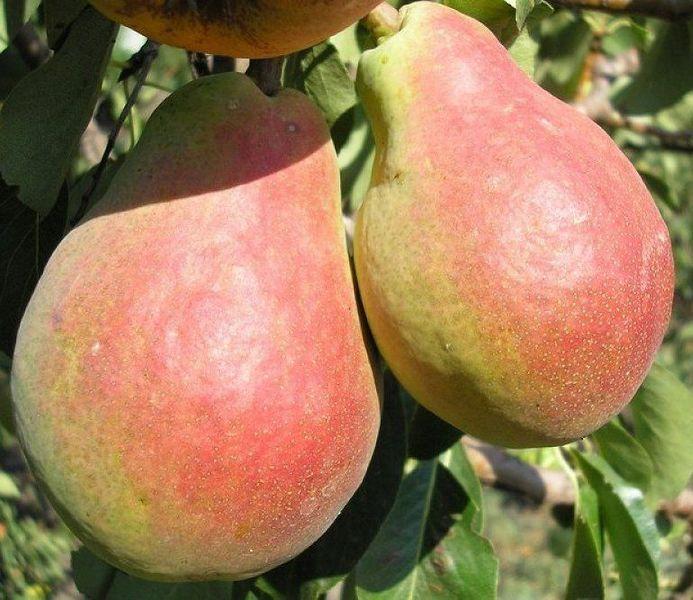 Груша Силк Кинг крупноплодные, высокоурожайный, раннеспелые плодовые
