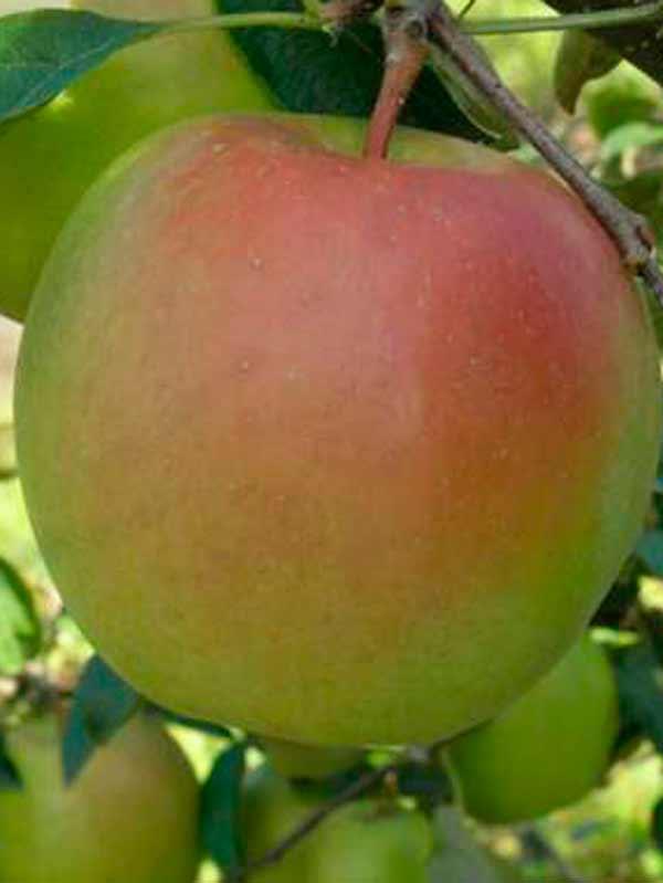 Яблоня 'Скифское золото'