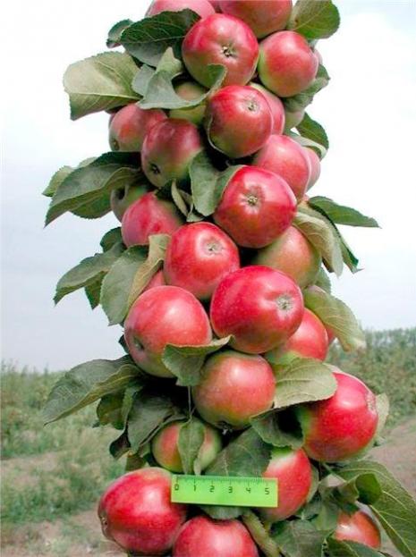 Яблуня 'Трайдент' (колоновидна)