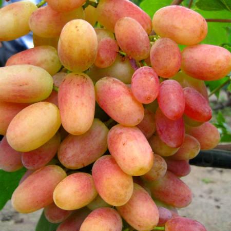 Виноград 'Виктор'