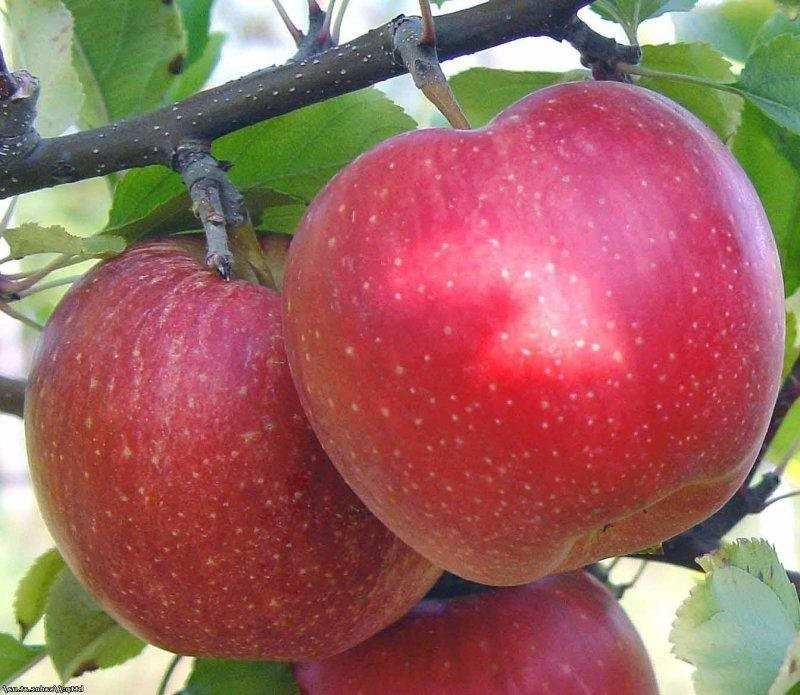 Яблоня 'Топаз'