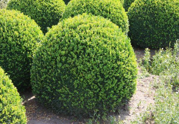 Самшит вечнозеленый Самшит вечнозеленый