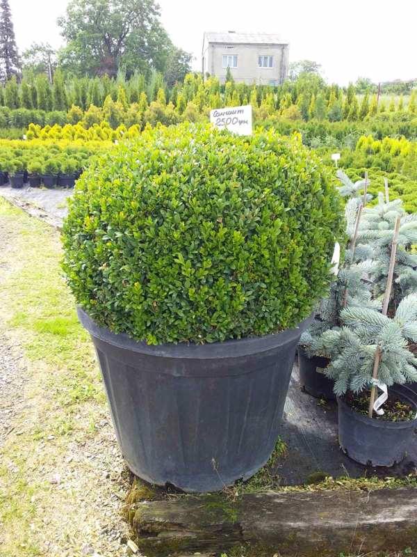 Самшит вечнозеленый декоративный кустарник, вечнозеленые, устойчивая к болезням, нетребовательны, зеленая листва